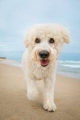 A dog named Logan strolls the beach in Asbury Park.