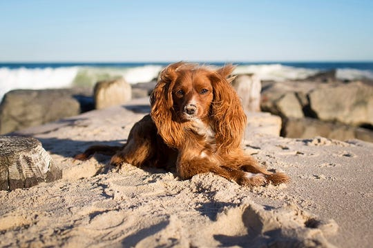 The sea breeze ruffles a dog's ears on the beach.