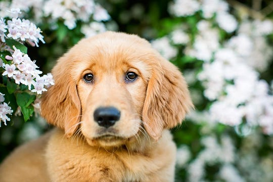 A sweet Golden Retriever poses for Sonya Kolb.