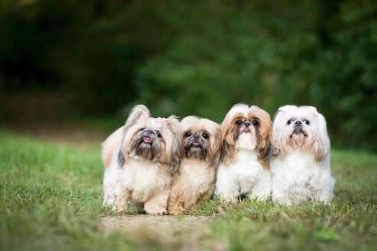 Four little Shih-Tsus pose for Sonya Kolb.