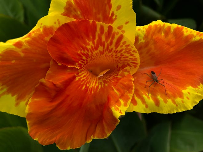 An insect rests on a colorful flower at First Central Presbyterian Church Aug. 2.