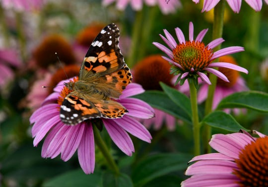 A butterfly rests on a cosmos at First Central Presbyterian Church Aug. 2.