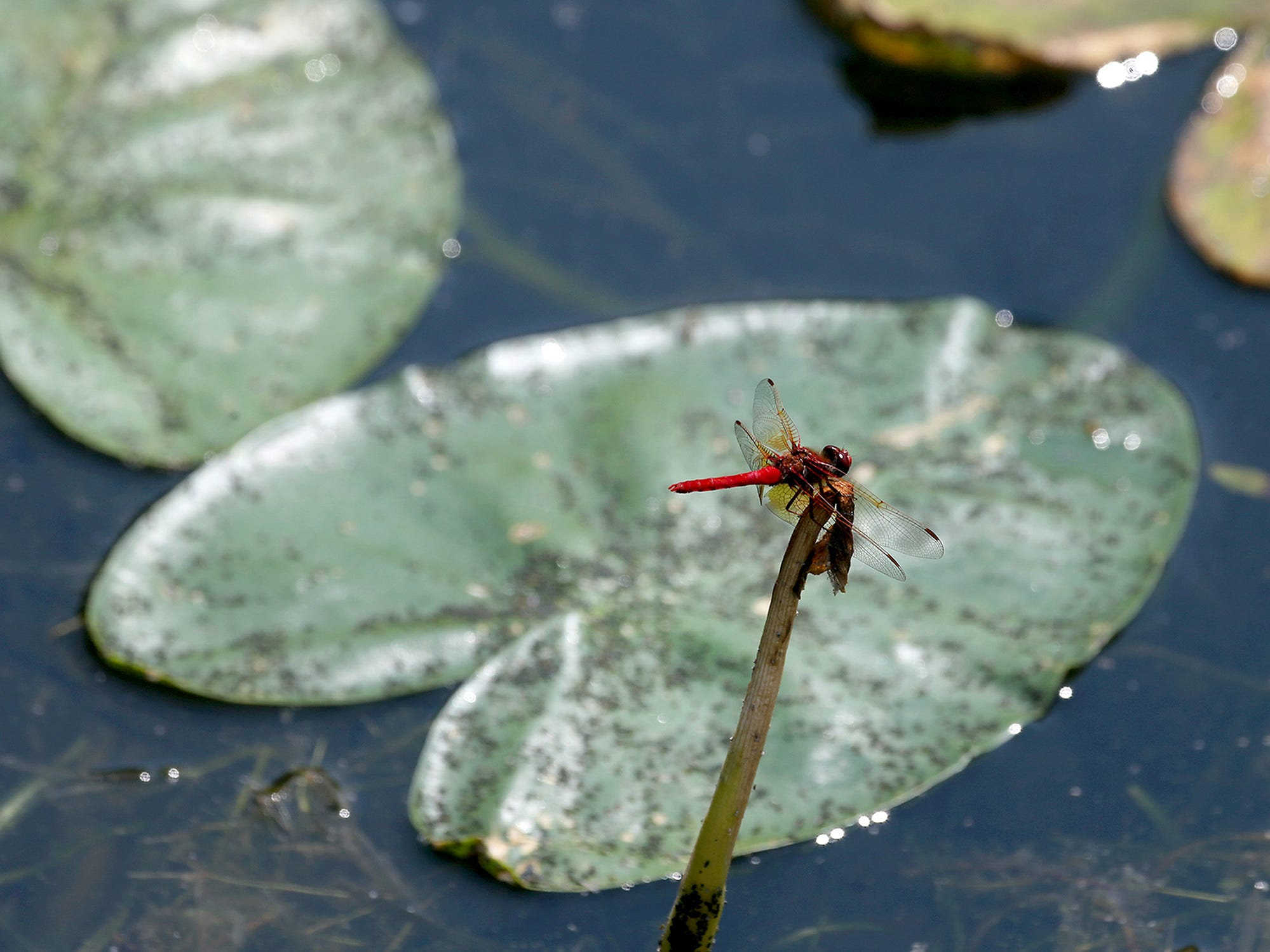 A dragonfly clings to a brach amongst the lily pads at Kitsap Lake on Monday August 6, 2108.