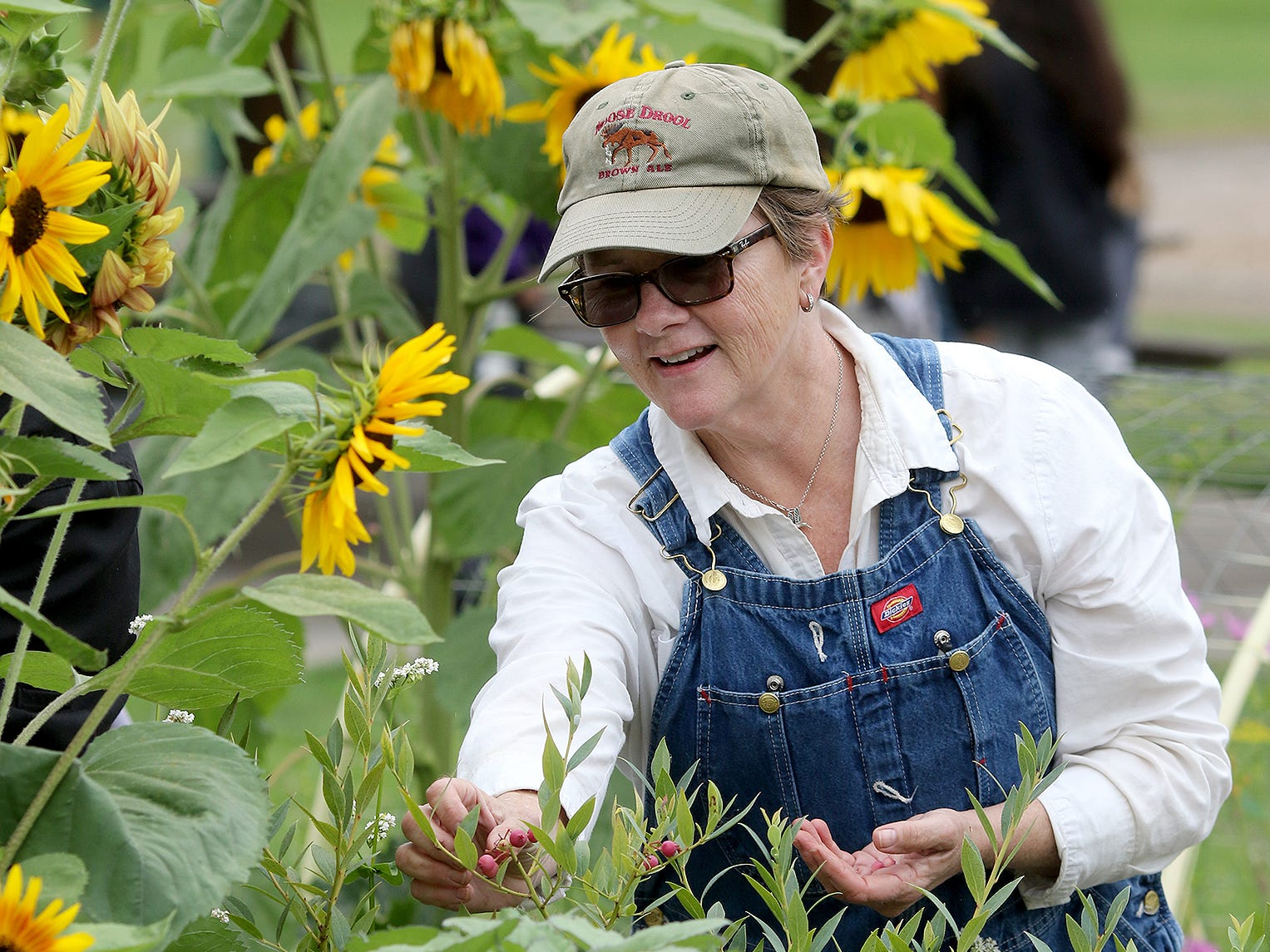 Ann Elberson, of the WSU Extension master gardeners, program picks pink champagne blueberries surrounded by sunflowers, at Blueberry park in East Bremerton on Thursday, August 2, 2018.