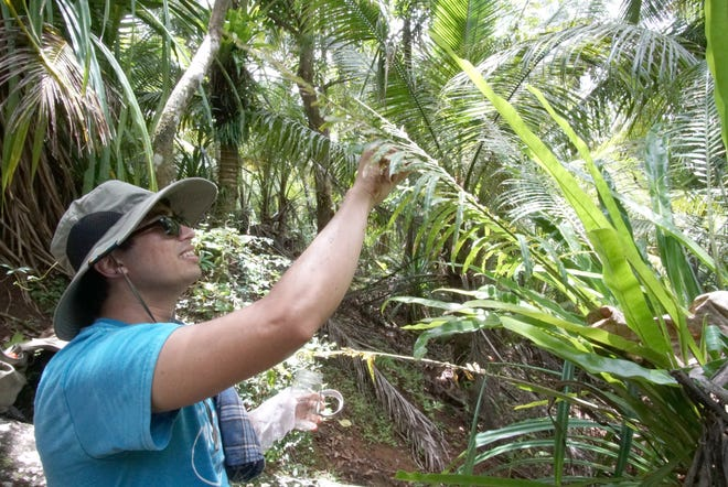 University of Guam graduate student Benjamin Deloso collects samples of an invasive insect on a fadang tree, an endangered species of cycad on Guam.