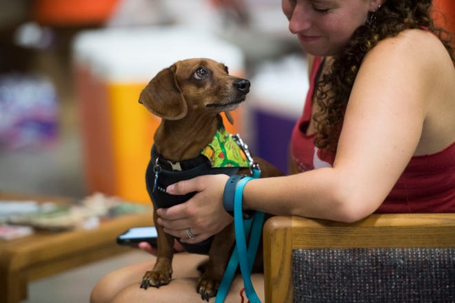 Murphy looks up at owner Danielle Smith at the first East Tennessee Dachshund Races at the K9 Center of East Tennessee in West Knoxville, Saturday, Aug. 11, 2018.