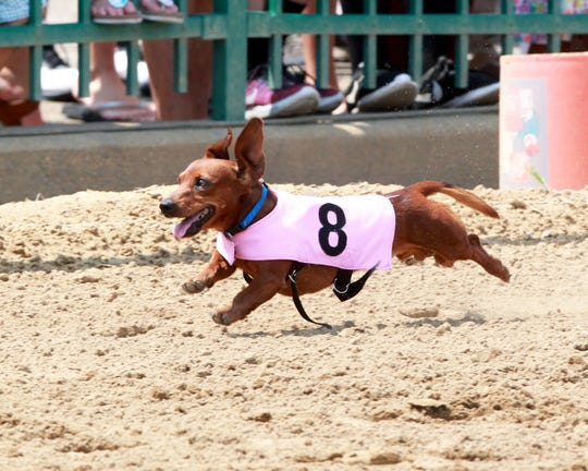 Wiener dog races at Ellis Park on Saturday.