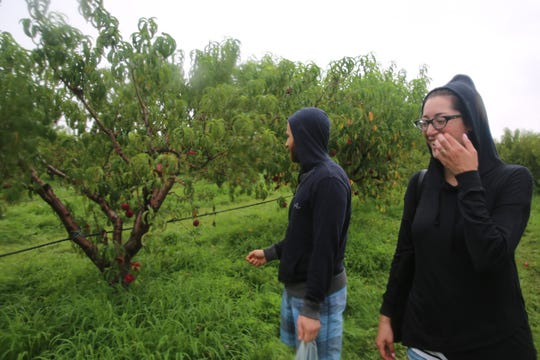 Jennifer Goldfarb, right, laughs as she and her husband, Michael, walk through Fishkill Farms on Saturday to pick fruit. Due to the rain, a version of Peachtopia is set to continue Aug. 18.