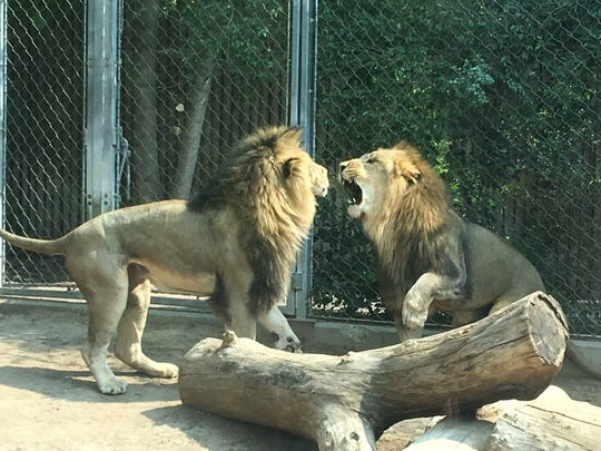 The Denver Zoo was another highlight. There are more than 4,300 animals, including these regal lions. Plus, there's craft beer on tap around the zoo.
