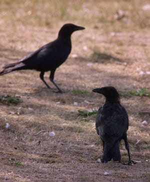 Six crows will pick up trash at a French park in exchange for food. Pictured here are two crows in Cambridge, Mass., Friday Sept. 3, 1999.