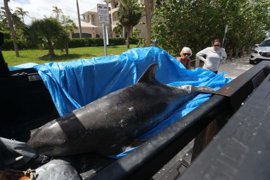 A dead dolphin was found washed up shore on Fort Myers Beach on Sunday 8/12/2018. Volunteers for the Florida Fish and Wildlife Conservation Commission picked it up where it was transported for a necropsy. It is unknown what killed the dolphin. A large red tide outbreak is affecting marine life and humans throughout Southwest Florida.