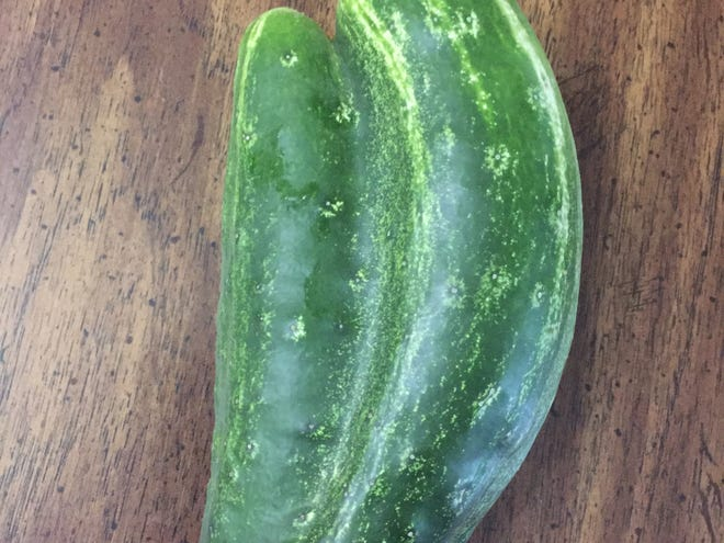 Instead of the usual one, two ovaries of the flower were fertilized to produce this conjoined cucumber.