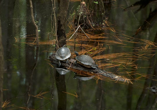 Turtles sun themselves Saturday, August 11, 2018 at Blackwater River State Park.