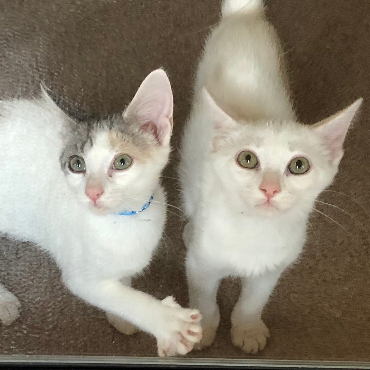 Ask the shelter: Are all cats with blue eyes deaf?