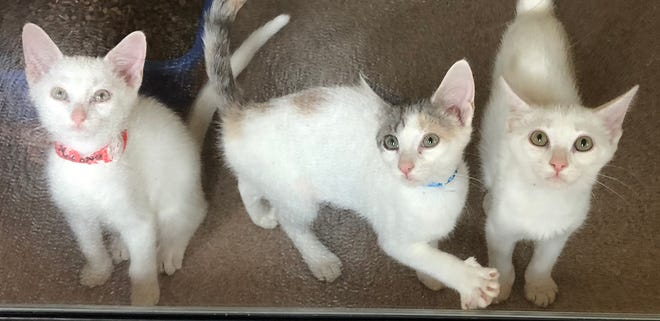 Look at the faces of these kittens! They are Kohona, Maci and Pearl (left to right), and they are looking for a forever home. These sweet, 3-month-old babies just came back from foster care (with two other siblings), and are waiting for you!