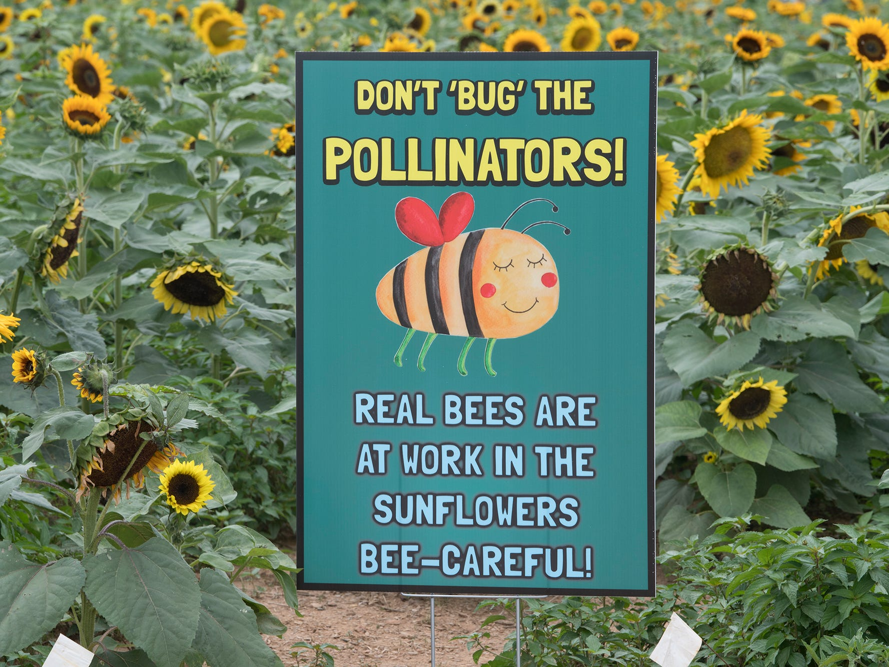 A sign warns people about pollinators working in the sunflowers during the 2nd Annual Sunflower Festival at Maple Lawn Farms near New Park.