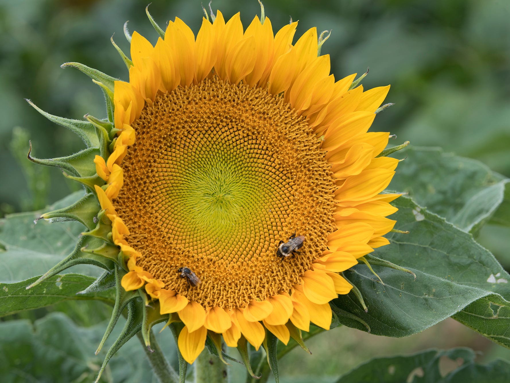 Pollinators work inside a sunflowe during the 2nd Annual Sunflower Festival at Maple Lawn Farms near New Park.