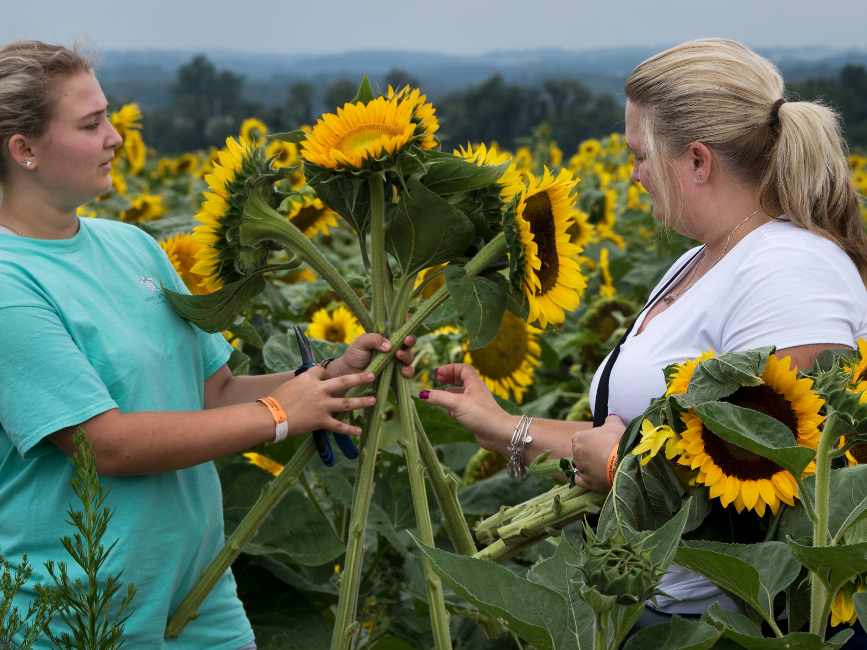 Elizabeth, left, and Kristy Ballwanz, of Baltimore, gather sunflowers during the 2nd Annual Sunflower Festival at Maple Lawn Farms near New Park Sunday.