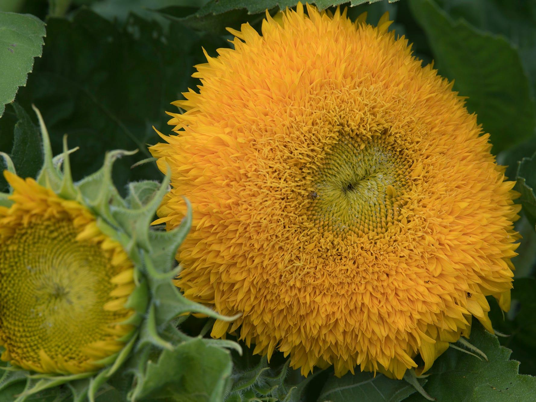 A Dwarf Teddy Bear sunflower during the 2nd Annual Sunflower Festival at Maple Lawn Farms near New Park.