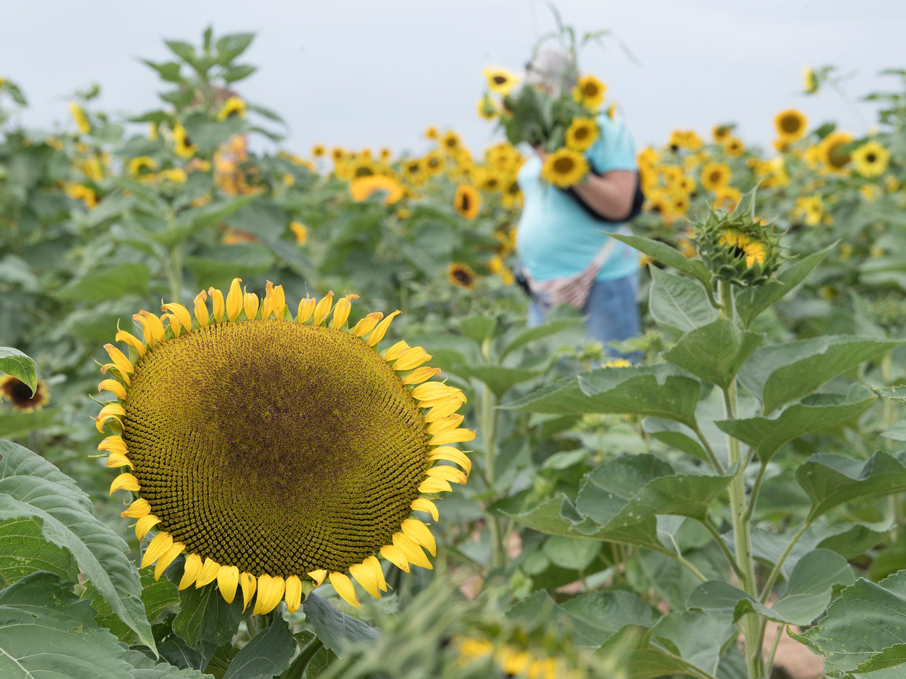 A person gathers sunflowers during the 2nd Annual Sunflower Festival at Maple Lawn Farms near New Park.
