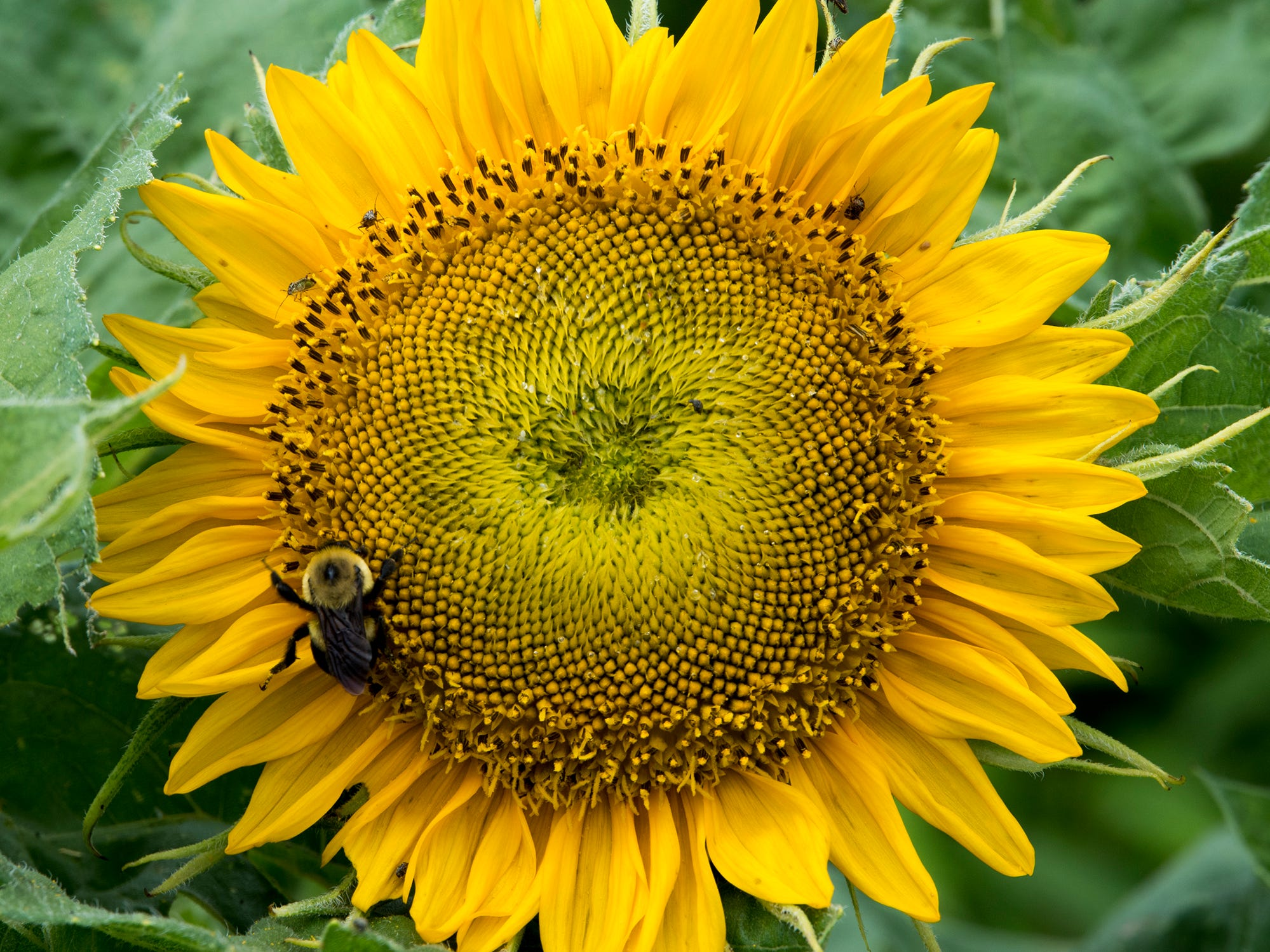 A pollinator works on a sunflower during the 2nd Annual Sunflower Festival at Maple Lawn Farms near New Park.