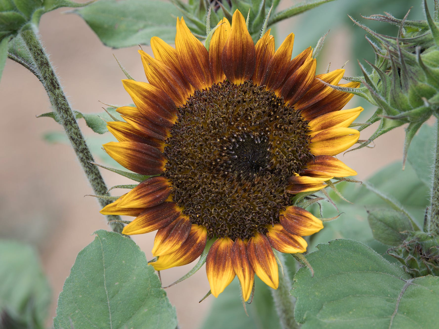 A sunflower during the 2nd Annual Sunflower Festival at Maple Lawn Farms near New Park.