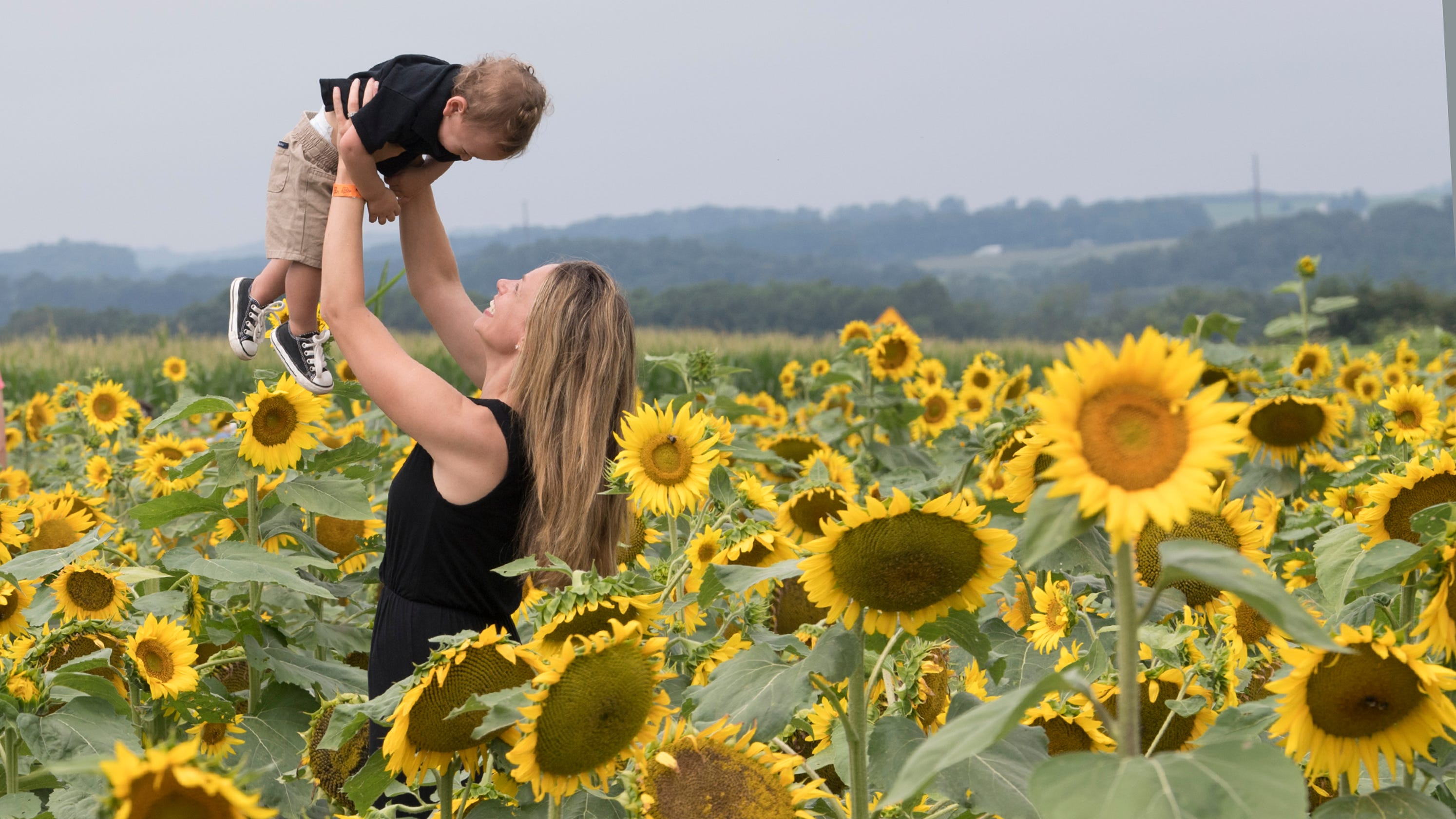 sunflower festival at maple lawn farms covers 10 acres