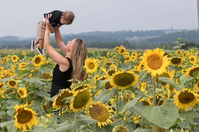 Jaime O'Malley, of Shrewsbury Township, holds her 15-month-old son Cameron in the air in 10 acres of sunflowers during the 2nd Annual Sunflower Festival at Maple Lawn Farms near New Park.
