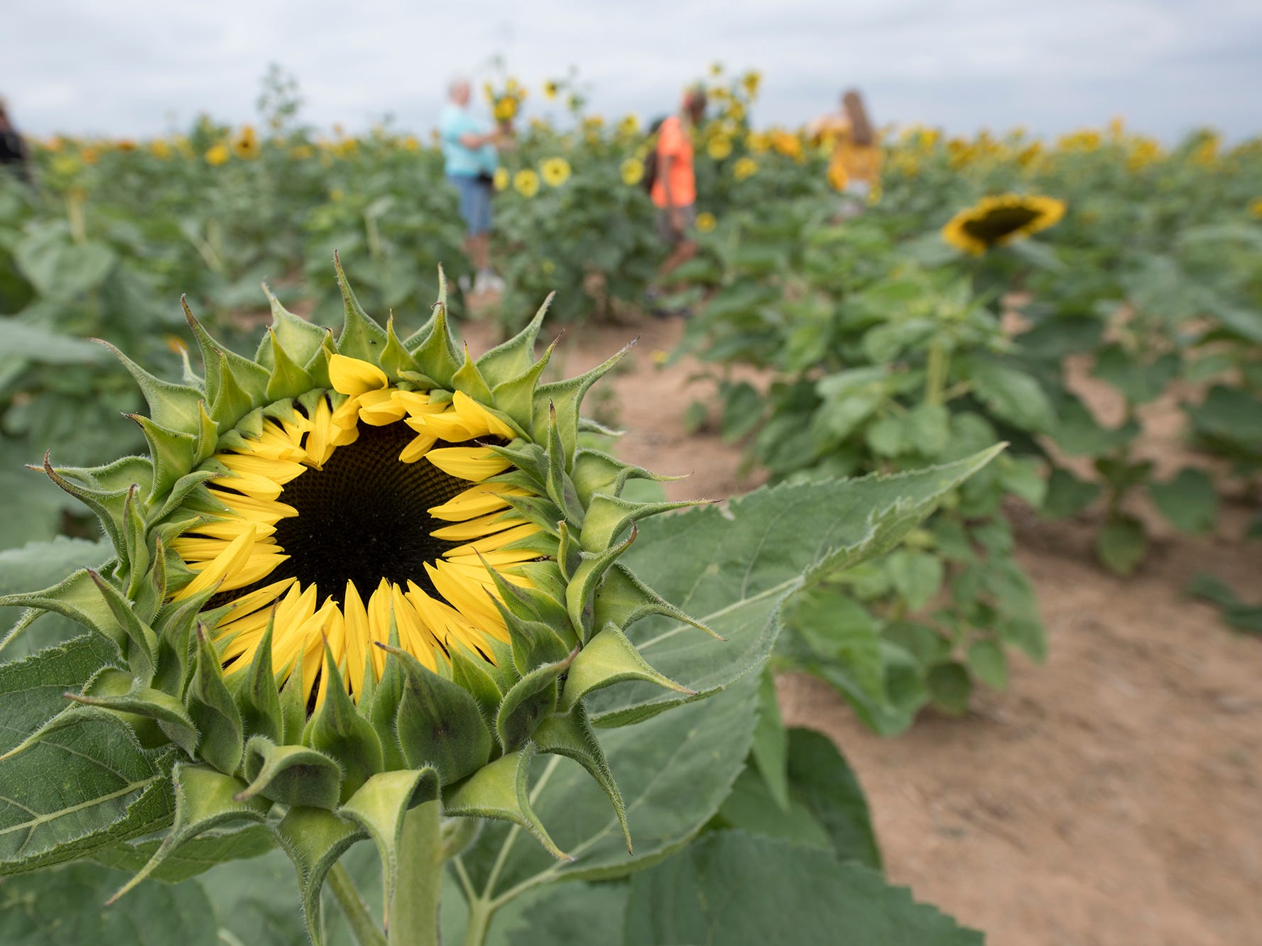 A sunflower opens during the 2nd Annual Sunflower Festival at Maple Lawn Farms near New Park.