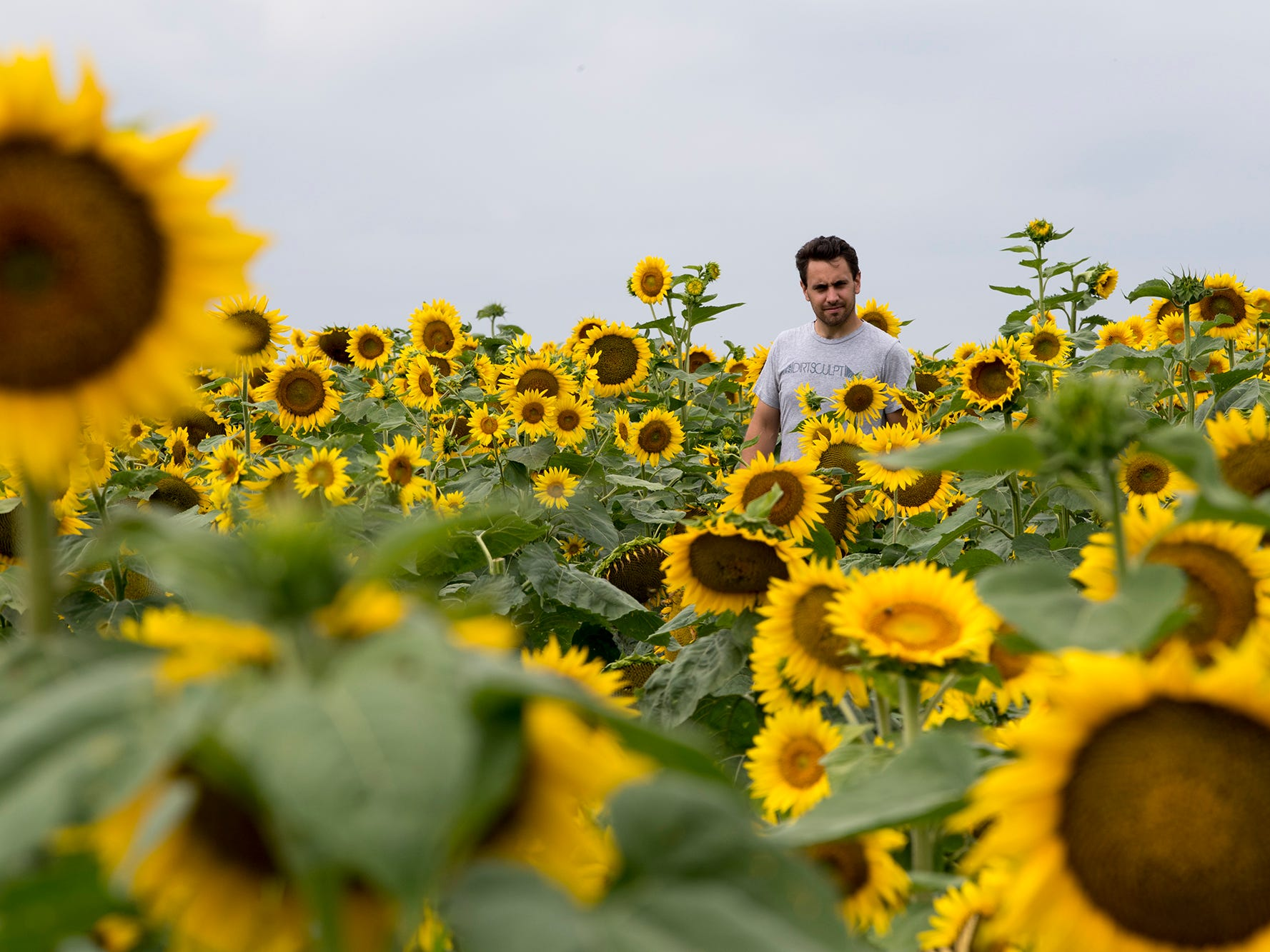 A person among the sunflowers during the 2nd Annual Sunflower Festival at Maple Lawn Farms near New Park.