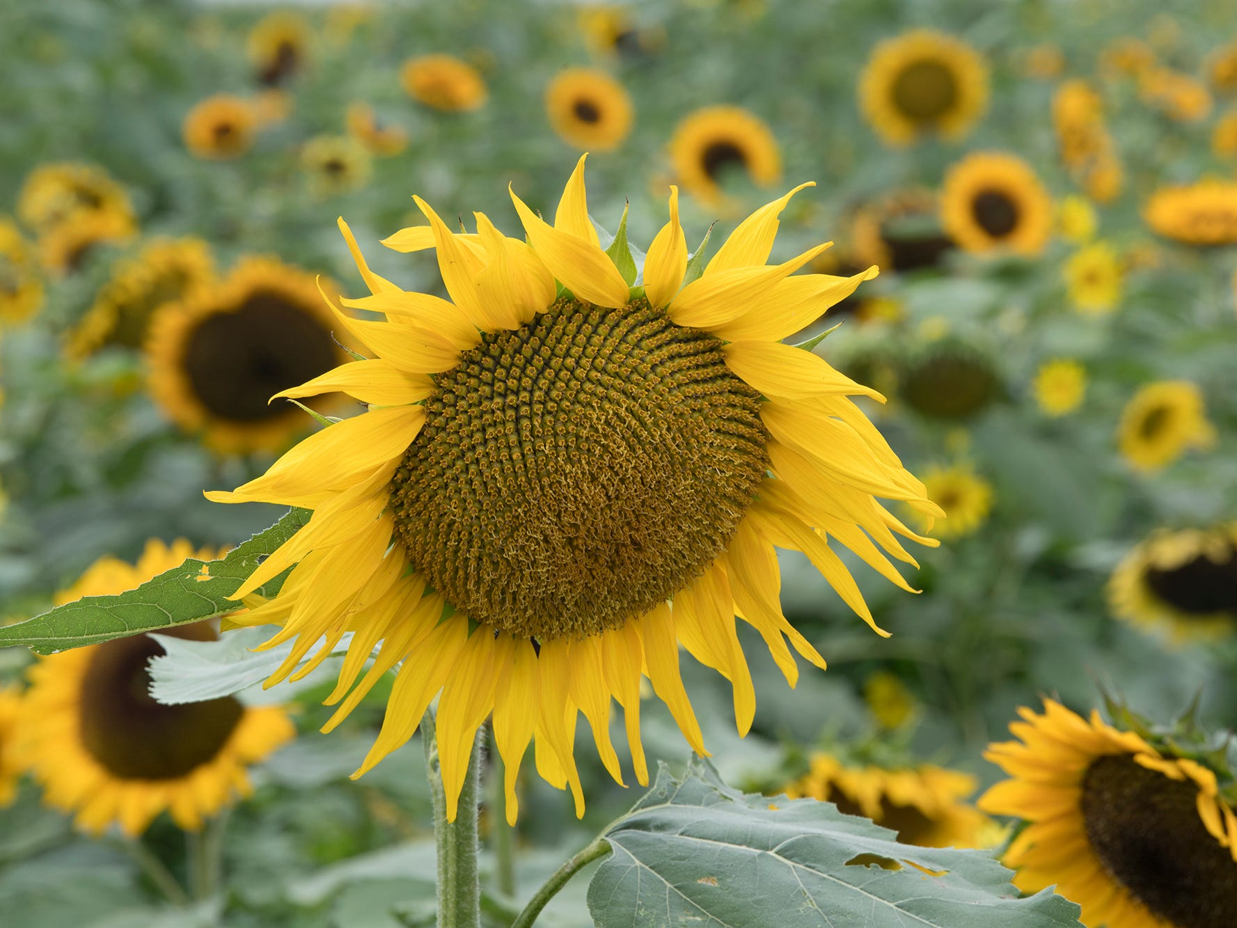 Sunflowers during the 2nd Annual Sunflower Festival at Maple Lawn Farms near New Park.