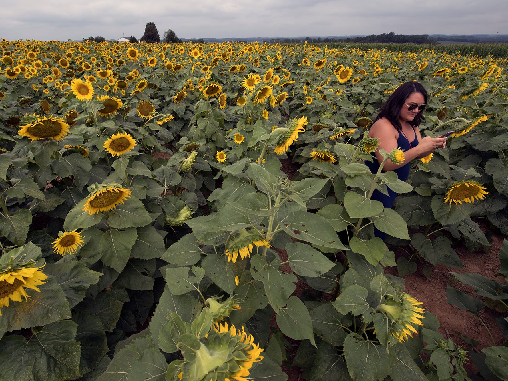 A person in a field of 10 acres of sunflowers during the 2nd Annual Sunflower Festival at Maple Lawn Farms near New Park.