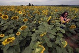 Walk through 10 acres of sunflowers during the Sunflower Festival at Maple Lawn Farms. The festival continues next weekend, Aug 17, 18, 19.
