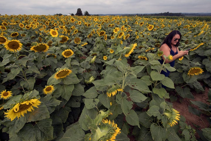 Walk through 100,000 sunflowers at Maple Lawn Farms during the festival