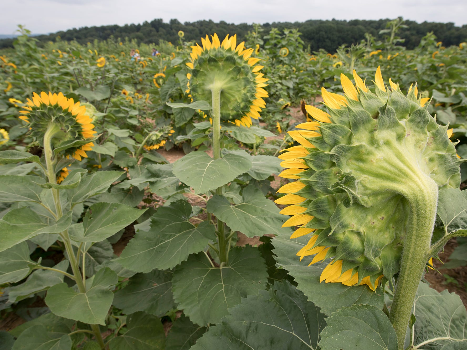 Sunflowers face toward the sun during the 2nd Annual Sunflower Festival at Maple Lawn Farms near New Park.