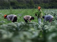 Migrant workers in the fields at Piedimonte Farms in August 1997, not long after an immigration raid there.