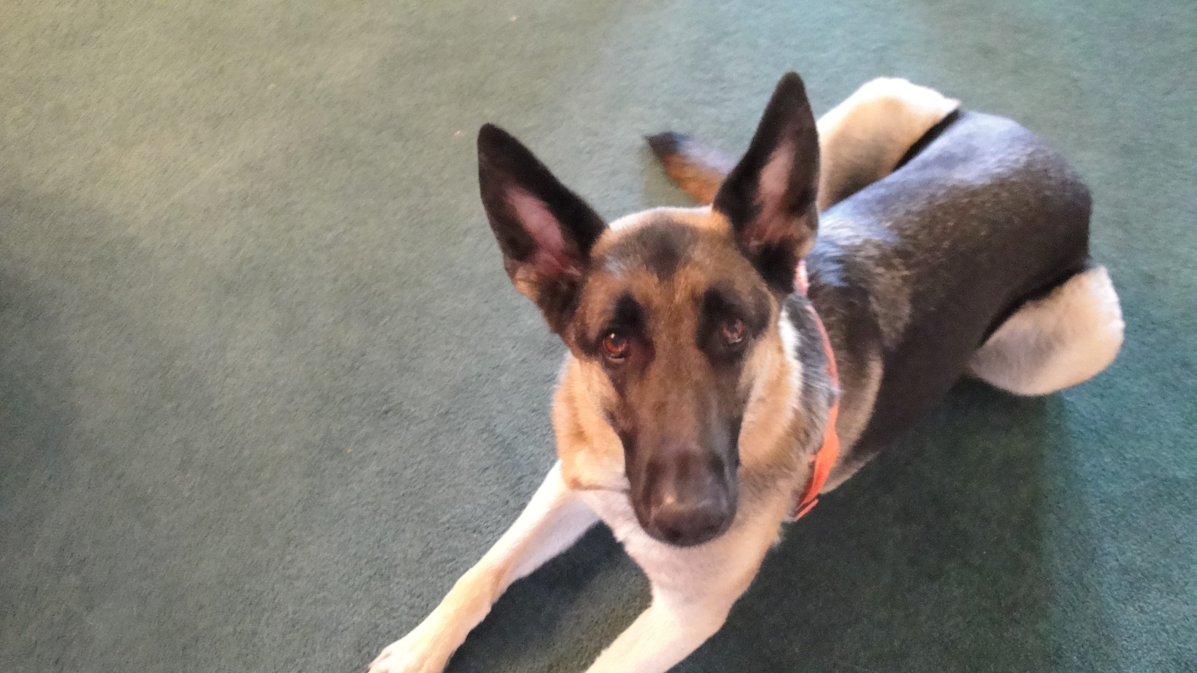 Jonzie, a 4-year-old German shepherd, was electrocuted at a Washington City park after he jumped into a pool of water July 13, 208.