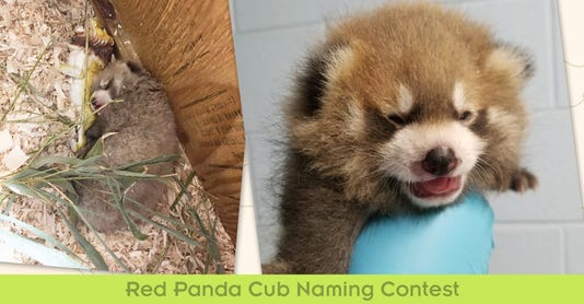 Red Panda Naming