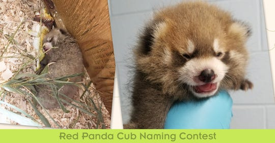 A contest will decide the name for the Binghamton Zoo at Ross Park's new red panda cub.