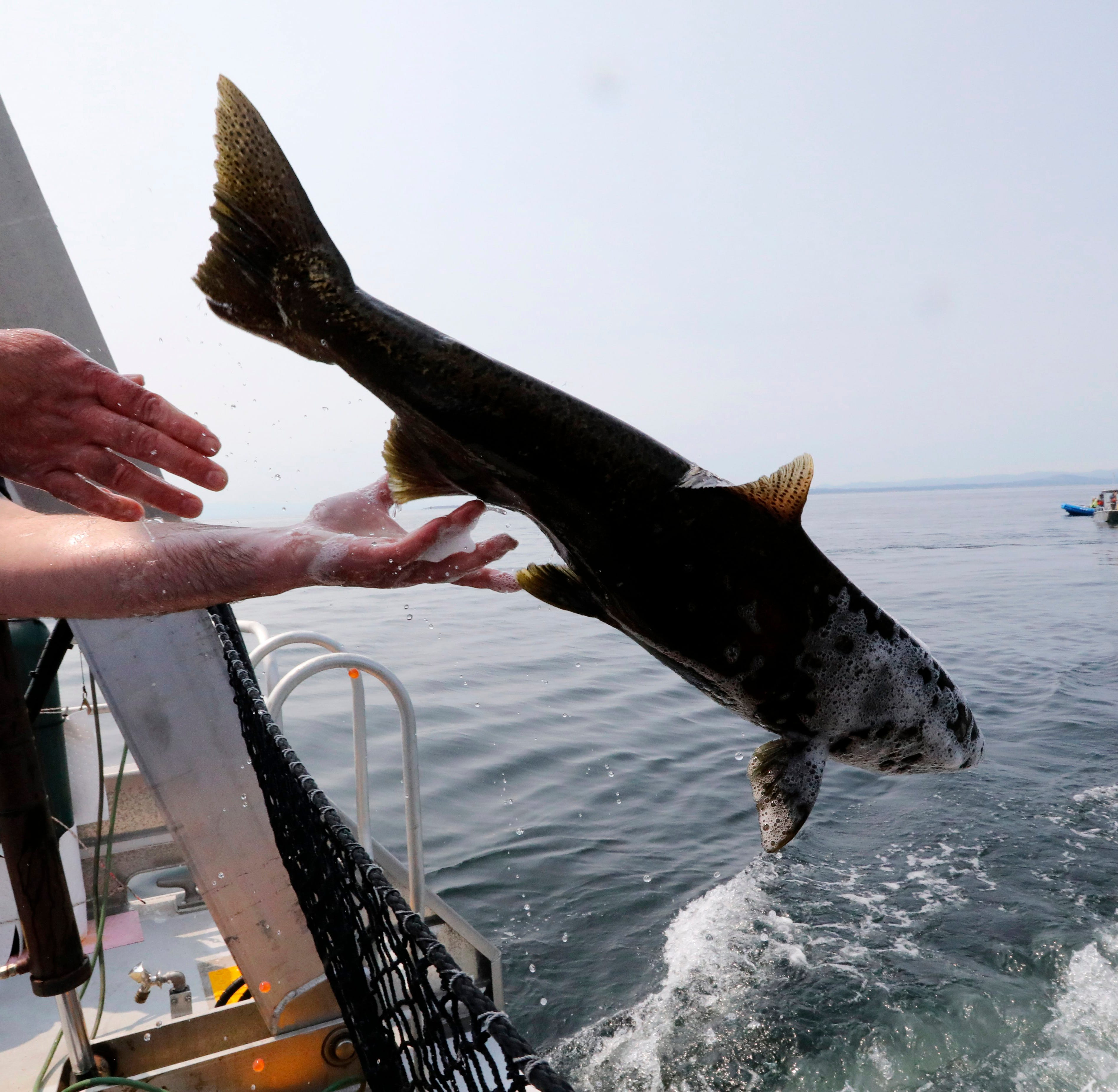 Live salmon released for ailing orca, but she doesn't eat it