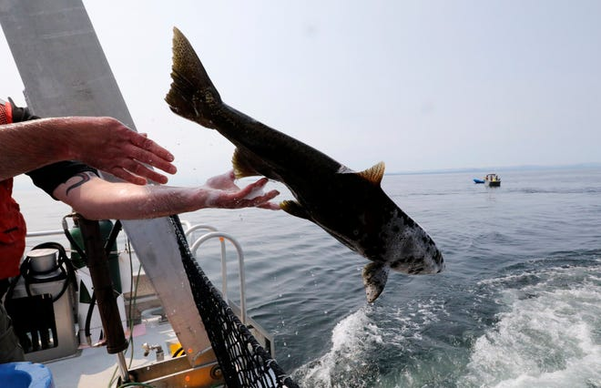Live chinook salmon aboard the King County Research Vessel SoundGardian are released into waters off San Juan Island on Friday.
