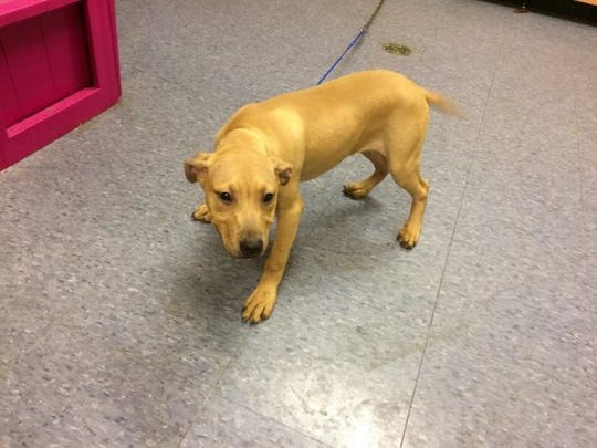 Skully, a female pit-bull mix, after being admitted June 23, 2017 at the Ingham County shelter as a court hold in conjunction with a dog fighting case.  Ingham County Animal Control.