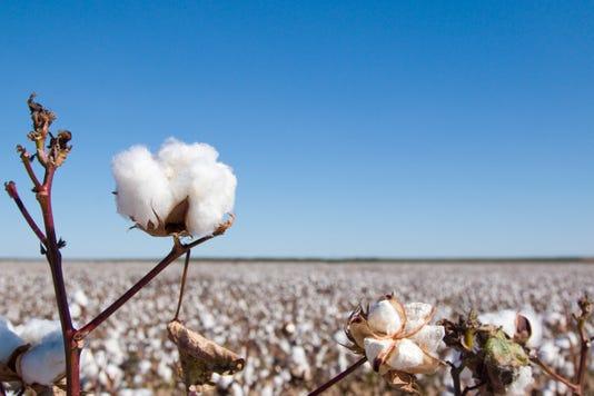Field Of Ripe Cotton Plants