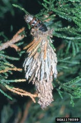 An all too commonly encountered cocoon for those with heavily infested trees on their property is that of the bagworm.