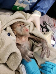 Doctors care for new baby orangutan at the Greenville Zoo.