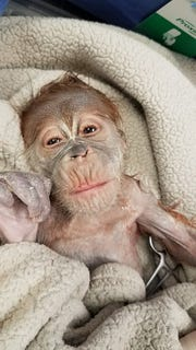 The Greenville Zoo's newest arrival, a baby orangutan