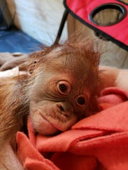 Newborn orangutan at the Greenville Zoo