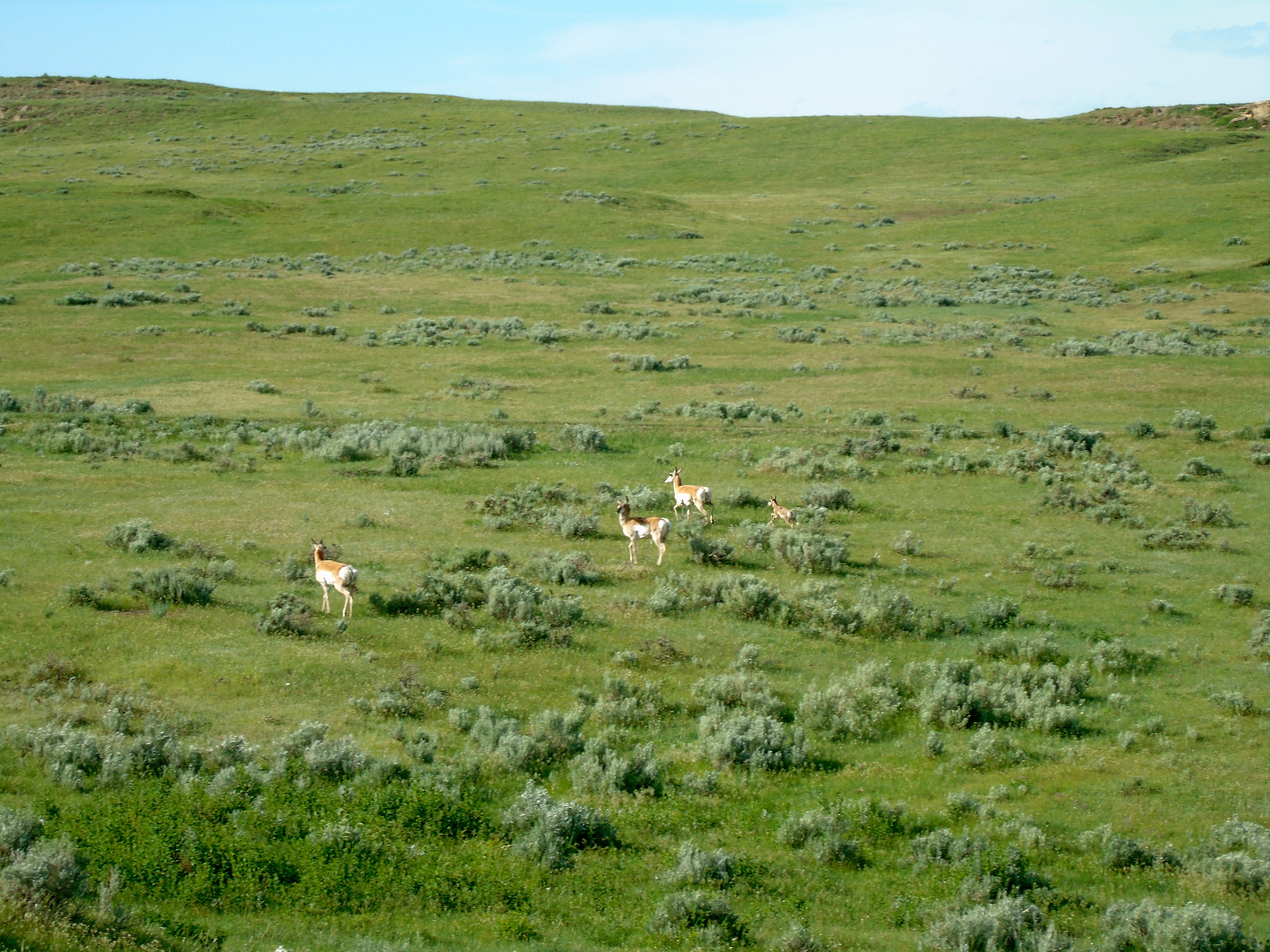 Antelope roam near Powderville in southeast Montana.