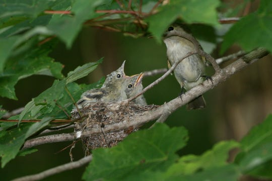 Baby Acadian Flycatchers, common Indiana songbirds, sit in a nest. Researchers predict that these abundant songbirds could be seriously threatened by the warming temperatures that come with climate change.