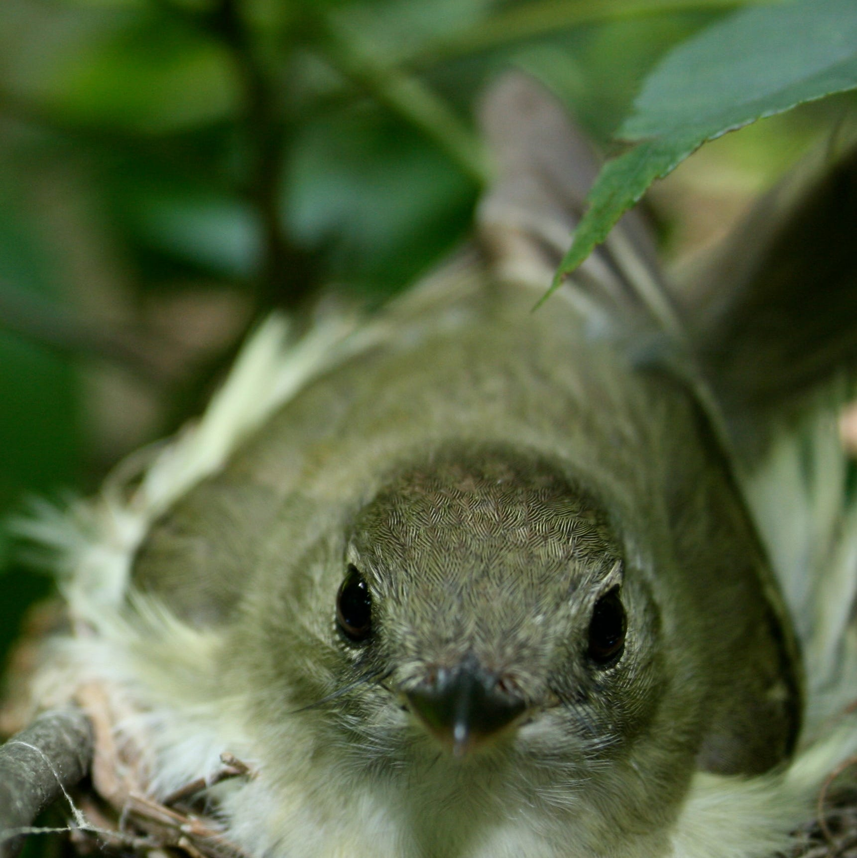 Common Indiana songbird under threat from climate change